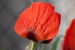 Röd vallmoblomma Royaltyfri Foto