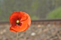 Röd vallmoblomma blomma vallmo Arkivbild