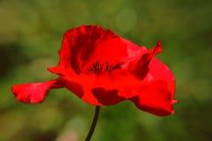 Röd vallmoblomma, enkel vallmo arkivbild