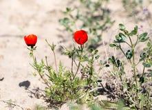 Röd vallmoblomma i fältet Arkivfoton