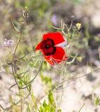 Röd vallmoblomma i fältet Royaltyfri Fotografi