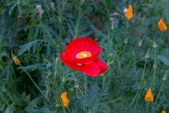 Röd vallmoblomma i trädgården Arkivbilder