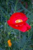 Röd vallmoblomma i trädgården Royaltyfria Bilder