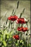 Röd vallmoblomma med bokehliciusbakgrund arkivfoton