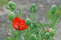 Röd vallmoblomma och gröna knoppar royaltyfria foton
