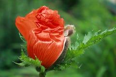Röd vallmoknopp. Royaltyfri Foto