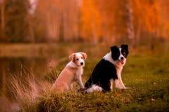 Röd valp Border collie och svartvit hund på gräs Solnedgång Skog och sjö på bakgrund arkivfoto