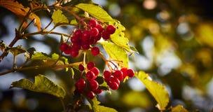 Röd viburnum Royaltyfri Bild