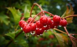 Röd viburnum efter regn, morgon Arkivfoton