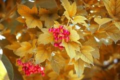 Röd viburnum på en guling royaltyfria foton
