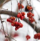 Röd viburnum på trädet i vinter Royaltyfri Foto