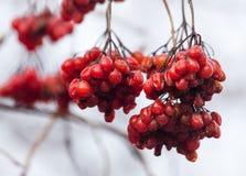 Röd viburnum på trädet i vinter royaltyfria bilder