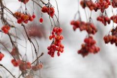 Röd viburnum på trädet i vinter arkivbild