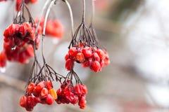 Röd viburnum på trädet i vinter royaltyfria foton