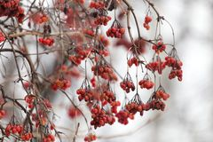 Röd viburnum på trädet i vinter royaltyfri fotografi