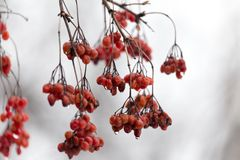 Röd viburnum på trädet i vinter arkivfoto