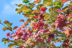 Röd viburnumbuske royaltyfria foton