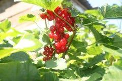 Röd vinbär Royaltyfria Bilder