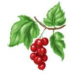 Röd vinbär Stock Illustrationer