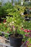 Röd vinbär för planta Royaltyfri Fotografi