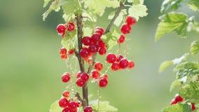 Röd vinbär för skörd Kvinnliga handkuragebär, närbild arkivfilmer