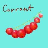 Röd vinbär för vattenfärg på genomskinlig bakgrund Arkivfoto