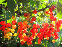 Röd vinbär i solsken Royaltyfri Bild