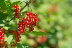 Röd vinbär i trädgården Arkivbild