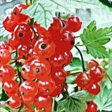 Röd vinbär i trädgården Royaltyfri Bild