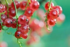 Röd vinbär på en filial i trädgården med härlig bokeh royaltyfria foton