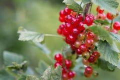 Röd vinbär som hänger på en buske i fruktträdgården royaltyfri foto