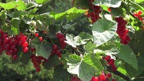 Röd vinbär som hänger på en buske i trädgården stock video