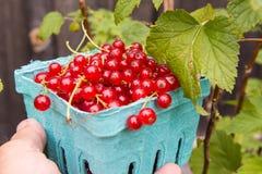 Röd vinbär som samlas i en liten ask Royaltyfria Foton