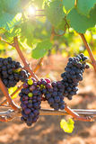 röd vinewine för druvor Royaltyfri Bild