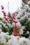 röd vinter för bär Royaltyfri Fotografi