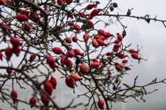 röd vinter för bär Royaltyfria Bilder