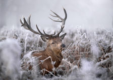 röd vinter för hjortar Fotografering för Bildbyråer