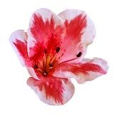 Röd vit blomma som isoleras på vit bakgrund Närbild element för klockajuldesign royaltyfria bilder