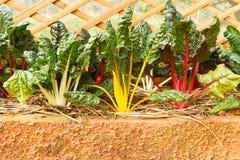 Röd vit grönsallat för guling och Arkivbild
