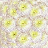 Röd vit-guling bakgrund Bukettblommor av ljusa vita krysantemum Närbild Arkivfoto