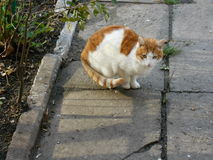 Röd vit katt för gård Royaltyfri Foto