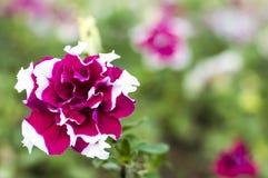 Röd-vit petunianärbild arkivfoto
