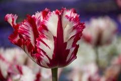 Röd vit tulpan, botaniska trädgårdar av Balchik, Bulgarien Royaltyfri Bild
