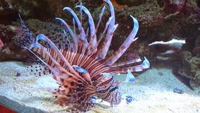 Röd Volitan Lionfish royaltyfria bilder