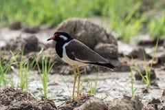 röd wattled fågel Arkivfoto