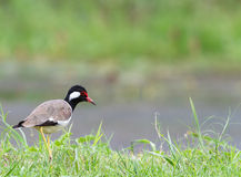 Röd-wattled vipa, gullig fågeljakt bredvid sjön Royaltyfria Bilder