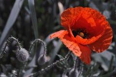 röd weed Royaltyfri Foto