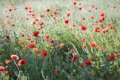 röd weed Arkivbild