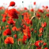 röd weed Royaltyfri Fotografi