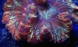 Röd Wellsophyllia korall Arkivbilder